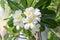 Stock Image : Plumeria frangipani blossom flower