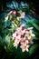 Stock Image : Plumeria