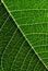 Stock Image : Poinsettia