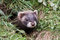 Stock Image : Polecat Kit