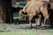 Stock Image : Polish bison