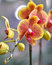 Stock Image : Polychrome butterfuly orchids