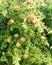 Stock Image : Pomegranate Tree