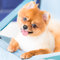 Stock Image : Pomeranian on Canvas Bed