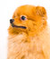 Stock Image : Pomeranian dog