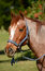 Stock Image :  Poneyportret