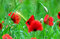 Stock Image : Poppies