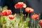 Stock Image : Poppies