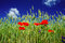 Stock Image : Poppies and wheat early by summertime.