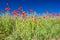Stock Image : Poppy field