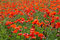Stock Image : Poppy field