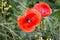 Stock Image : Poppy flowers