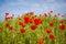 Stock Image : Poppy landscape