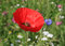 Stock Image : Poppy on meadow