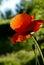 Stock Image : Poppy