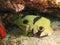 Stock Image : Porcupine Puffer Fish