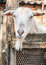 Stock Image : Portrait of a funny goat.