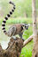 Stock Image : The portrait of Lemur