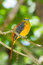 Stock Image : Portrait lovely of Orange-breasted Trogon