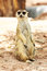 Stock Image : Portrait of meercat