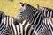 Portrait of a plains zebra