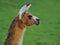 Stock Image : Portret lama
