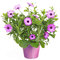 Stock Image : Pot with violet african daisy flower