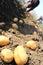 Stock Image : Potato farm in the field