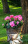 Stock Image : Potted pink geraniums on a birch stump