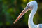 Stock Image : Profile of a pelican