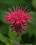Stock Image :  Pszczoła balsam, jadalny kwiat