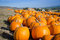 Stock Image : Pumpkin patch.