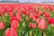 Stock Image : Pure Red Tulips Bulb Field