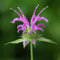 Stock Image : Purple beebalm