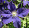 Stock Image : Purple blue Clematis flower