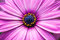 Stock Image : Purple Daisy Flower