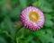 Stock Image : Purple daisy