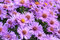 Stock Image : Purple Fall Asters