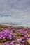 Stock Image : Purple flowers on the dunes