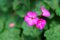 Stock Image : Purple geranium