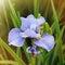 Stock Image : Purple iris flower