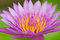 Stock Image : Purple lotus