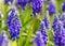 Stock Image : Purple Muscari Armeniacum Closeup