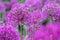 Stock Image : Purple Onion Flowers
