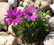 Stock Image : Purple osteospermum