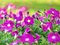 Stock Image : Purple Petunia