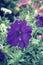 Stock Image : Purple petunias flower