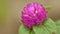 Stock Image : Purple round flower