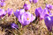 Stock Image : Purple spring crocus