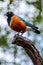 Stock Image : Purple Starling bird